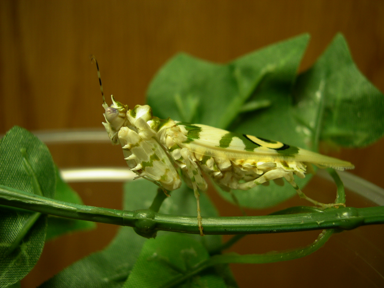 African Flower Mantis For - Flowers Ideas