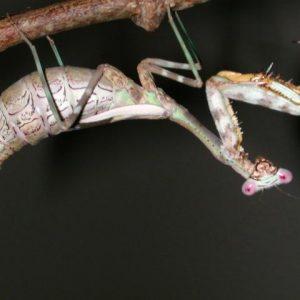 Budwing Mantis