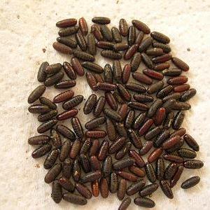 housefly pupae