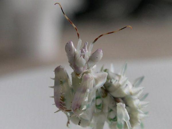 Spiny Flower Mantis