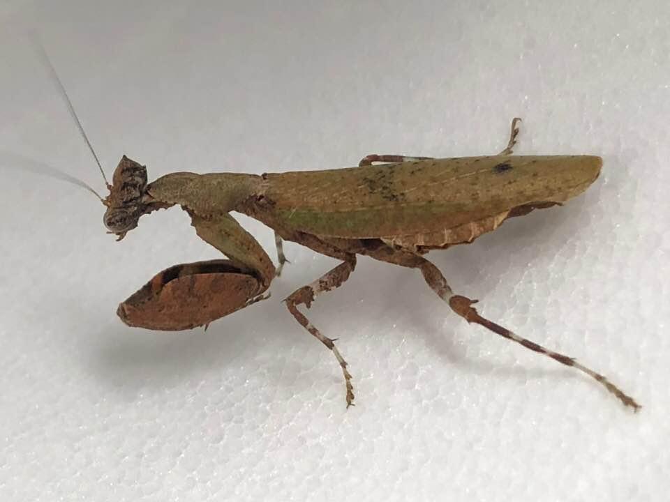 Otomantis Scutigera Boxer Mantis Mantid Kingdom