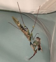 Idolomantis Male