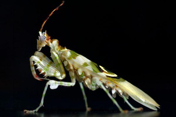Pseudocreobotra