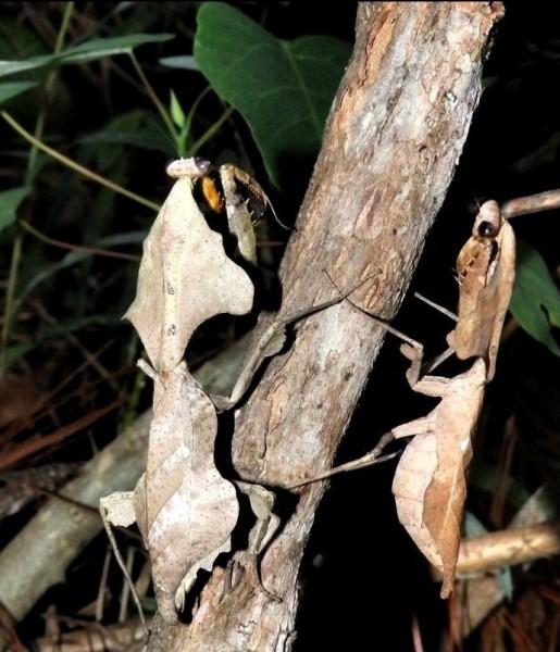 D. lobata