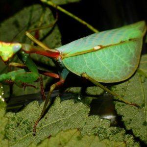 Pseudoxyops perpulchra adult female