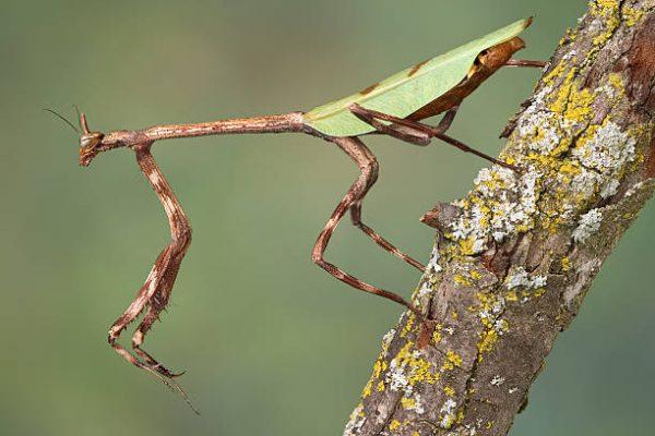 Texas Unicorn Mantis