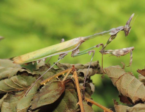 Empusa fasciata female