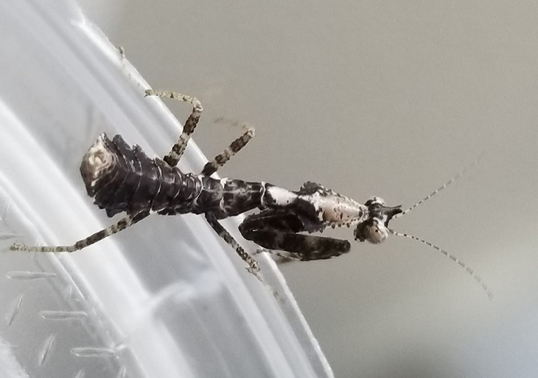 Parablepharis nymph