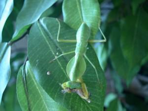 Rhombodera basalis