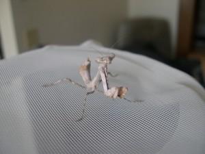 Budwing mantid nymph