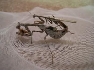 Budwing mantids mating