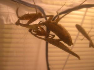 Dead Leaf Mantids mating