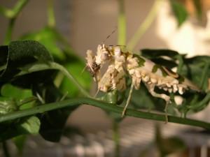 adult wahlbergii