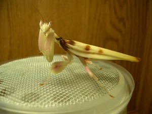 Adult female orchid mantid