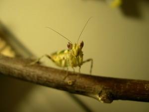 Adult C. gemmatus female