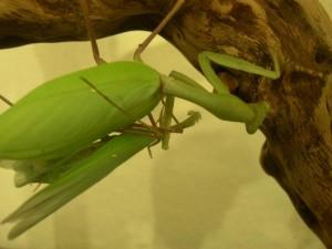 H. grandis mating